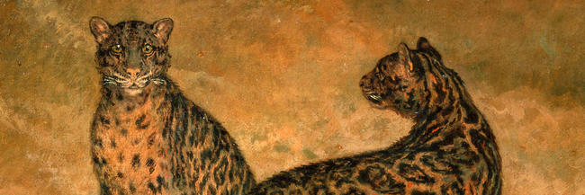 Two Clouded Leopards from Sumatra